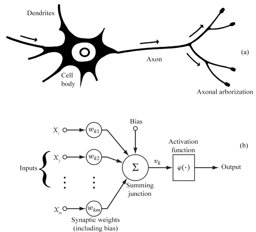 Biological and neural networks
